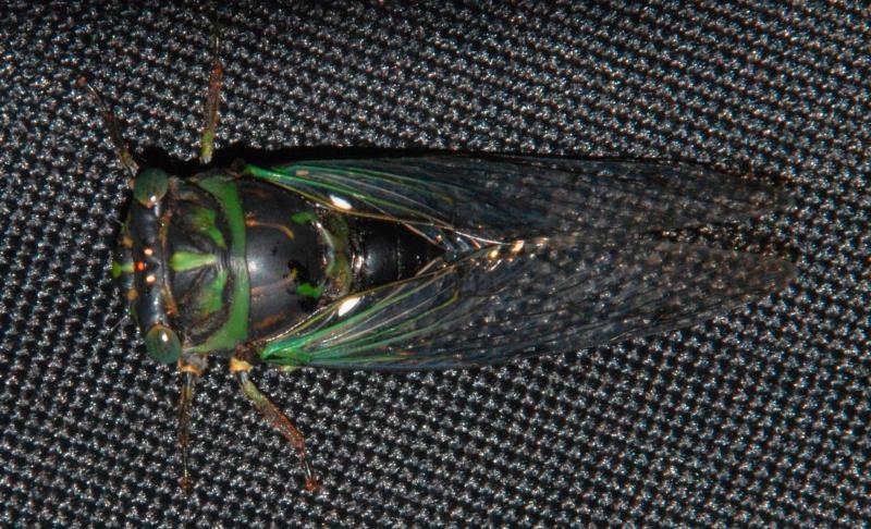A West Virginia cicada at Big Ben Campground