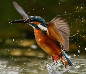 Kingfisher Ireland's Wild River