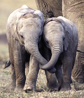 Two baby elephants