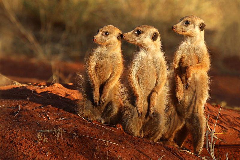 Meerkats, Meerkat, Zoo, Reserve
