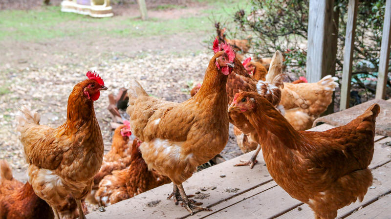 Chickens on Sugar Bottom Farm, owned by veteran Eric Grandon