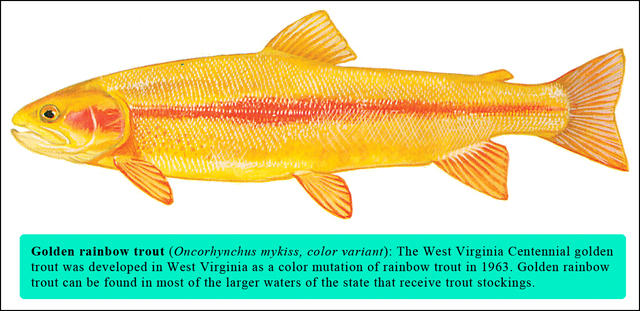 Golden rainbow trout special stockings set in west for Wv fish stocking