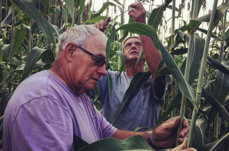 Farmers Donnie Tenney (left) and Charlie Radabaugh inspect sorghum canes at Tenney's farm in Tallmansville, W. Va. before harvesting and processing into sorghum syrup.