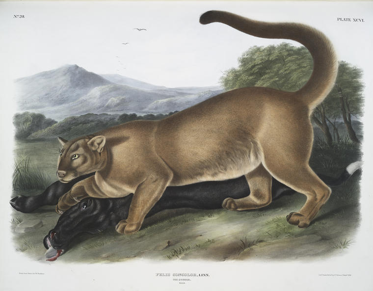 John Audubon's c. 1845 illustration of a mountain lion.