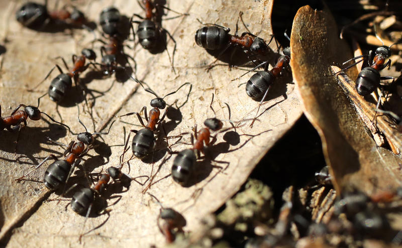 Ants make their way on surface of an anthill in the forest near the Logoisk, 40 km (25 miles) north of Minsk, Belarus, Tuesday, April 4, 2017, during a spring sunny day.
