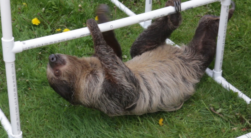 A sloth visits West Liberty's campus.