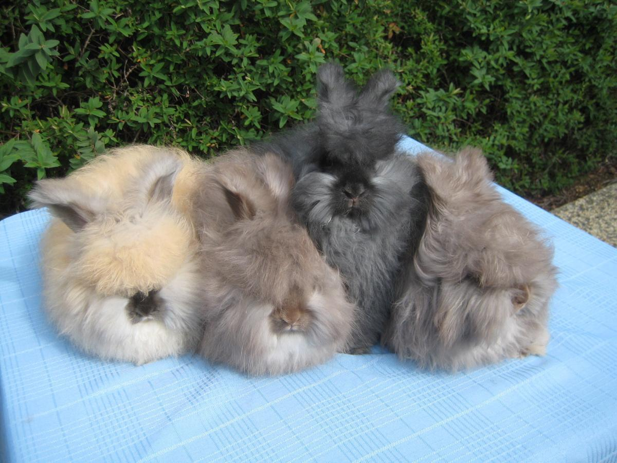 betty-chu-fluffy-angora-rabbits.jpg