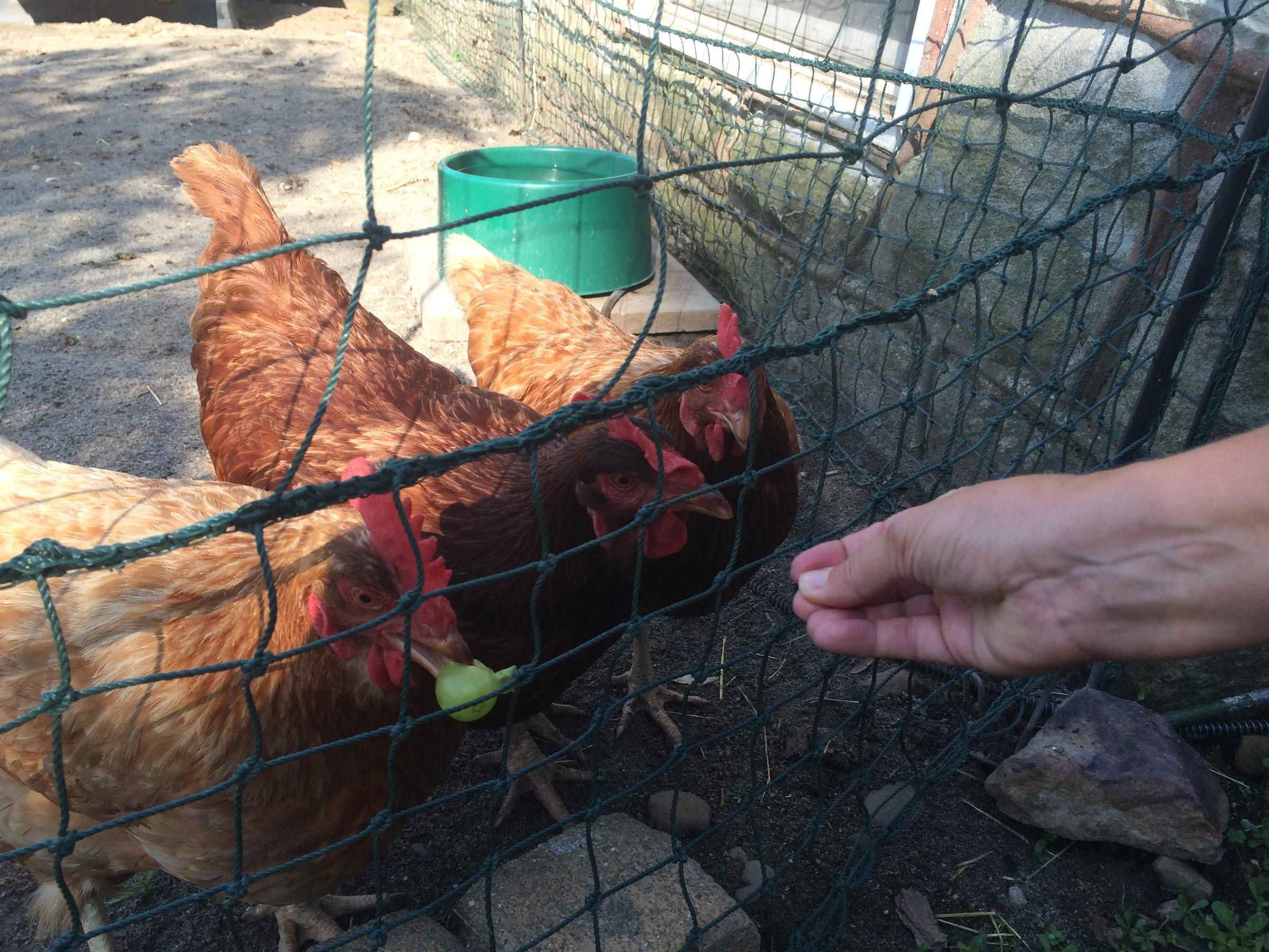 an urban agriculture law ruffles feathers in morgantown west