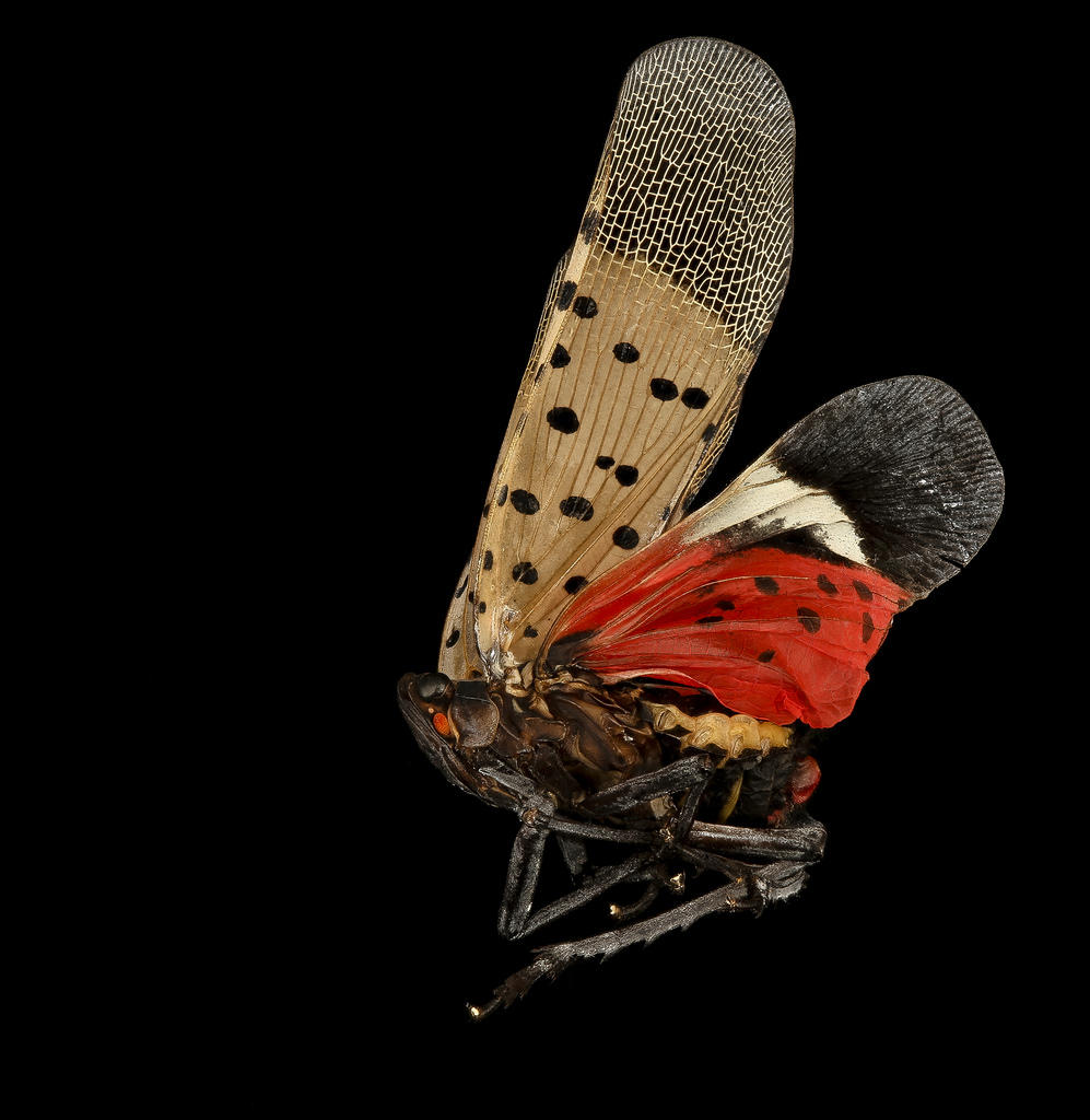West Virginians Asked to Watch for Spotted Lanternfly ...