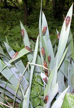 Cicadas infest spring irises.