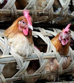 Chickens in a Chinese live bird market.