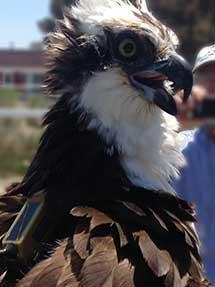Quinn, the Osprey