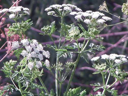 Poison Hemlock...DON'T EAT THIS!