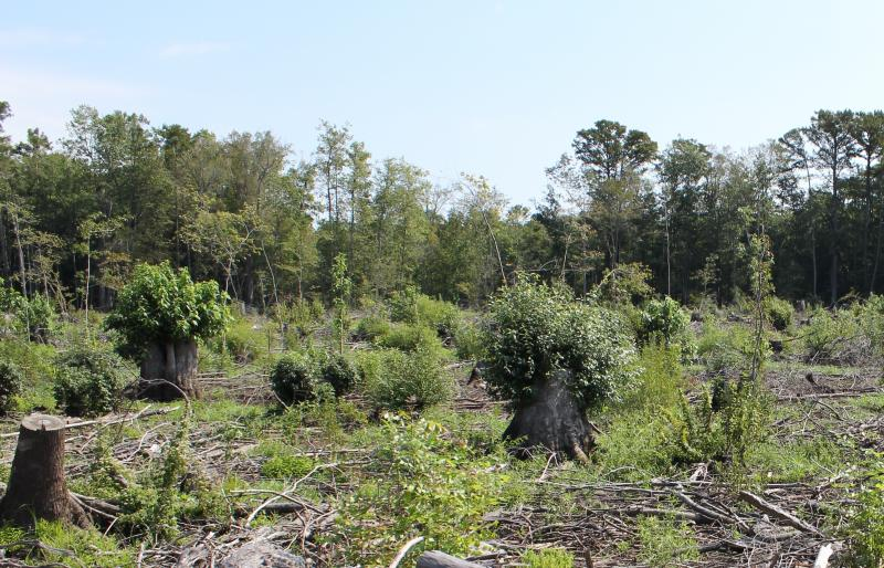 1 year after clearcutting