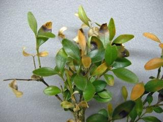 Brown leaf spots with dark borders caused by the boxwood blight pathogen, Calonectria pseudonaviculata.