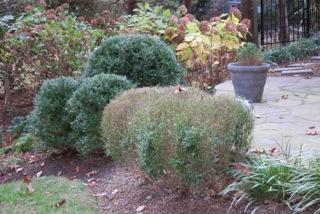 Spread of boxwood blight to landscape plants following installation of an infected boxwood patio plant