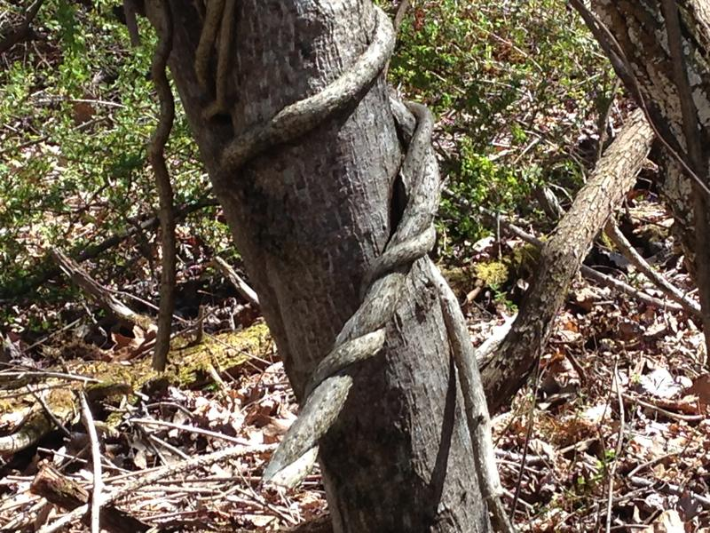 Invasive vines deprive trees of sunlight, and their weight can cause a tree to topple.