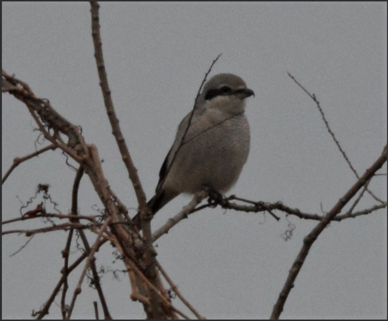 Photo of Northern Shrike by Fred Atwood, who leads the Northern Virginia Teen Bird Club.