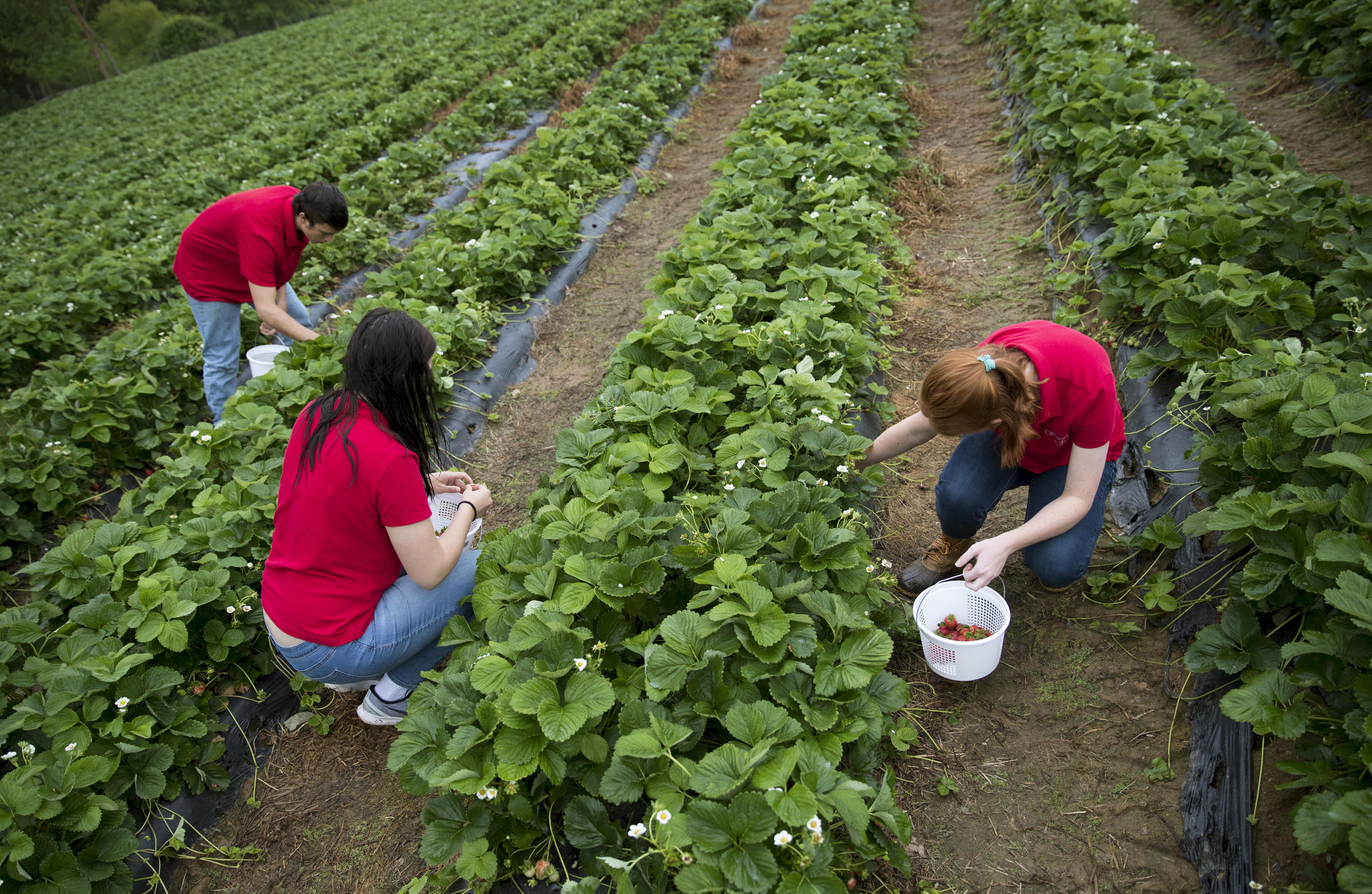 Teens Ben Testa, Hannah Waring and Abby McDonough pick strawberries at  Wegmeyer Farms in Hamilton, Va. Virginia's agriculture industries have  boomed in ...
