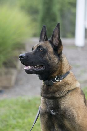 Canine Figo may look like a German Shepherd but he's a Belgian Malinois.