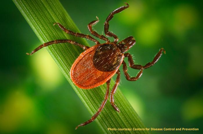 The black-legged deer tick is a primary source for Lyme Disease in humans