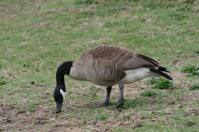 The Canadian Goose can cause extensive damage to golf courses, private ponds, and commercial retention ponds.