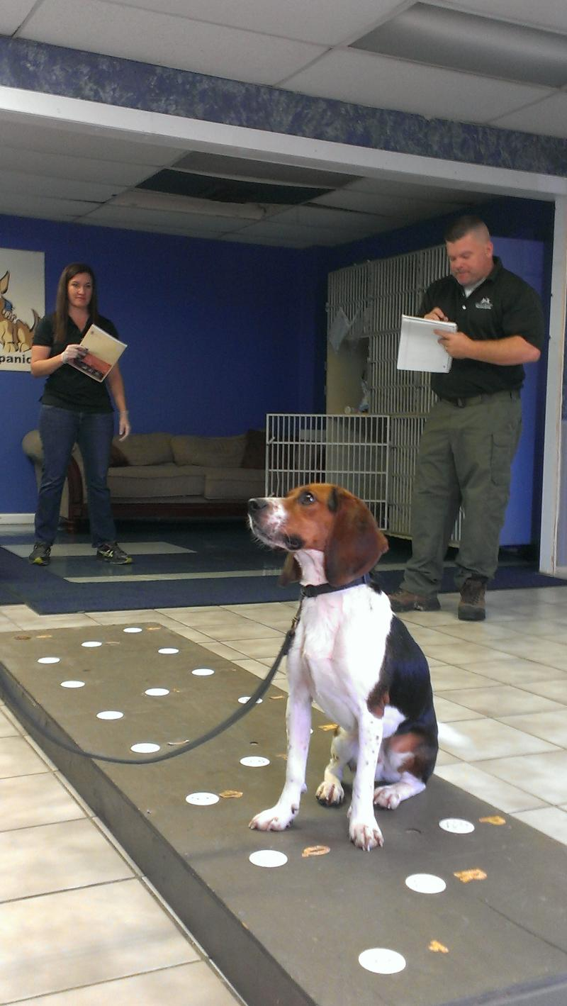 Elvis, a trained beagle in Kansas, is trained to sniff out pregnant polar bear poop. Most recently he had 100% accuracy.