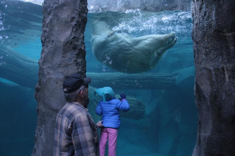 Berit, the Cincinnati Zoo's only female polar bear, is unaware such a fuss is being made over her. Bill Macbrair and his granddaughter watch as the bear goes for a morning swim.