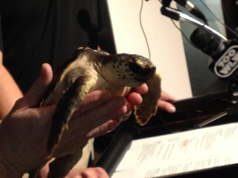 This turtle, part of the new exhibit, was rescued and will eventually be released out in the wild.