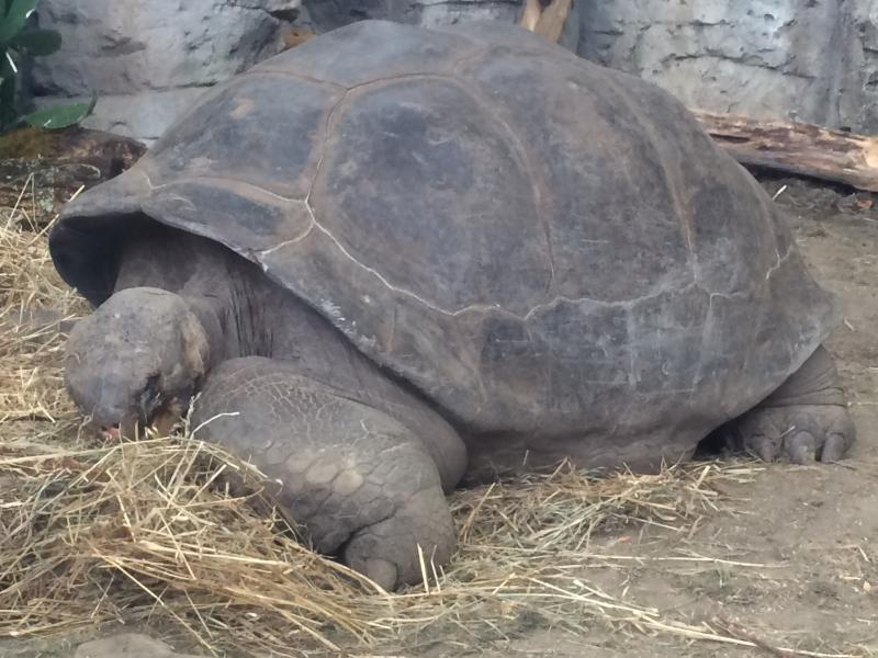 Bravo, Galapagos tortoise-largest turtle in the Midwest