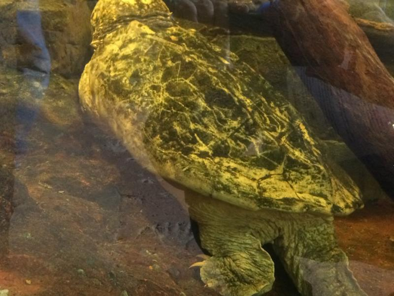 Thunder, more than 100 year old alligator snapping turtle
