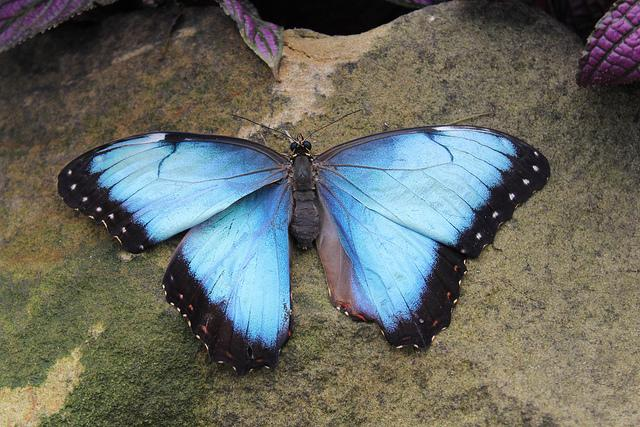 A Blue Morph butterfly at the Krohn