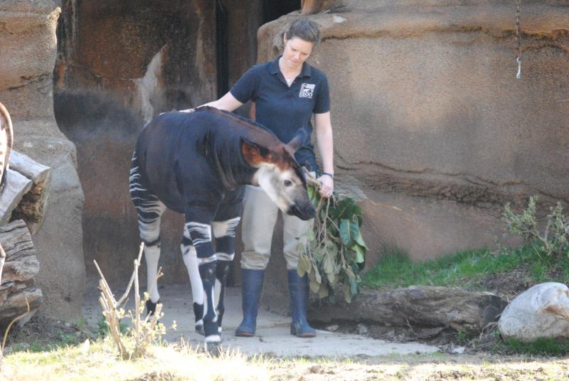 Kilua is escorted to her new enclosure by her keeper, Renee Carpenter.