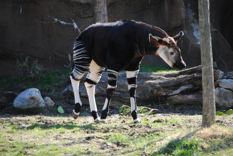 The public got its first glimpse of Kilua, a 4-month old okapi born at The Cincinnati Zoo on November 30, 2013.