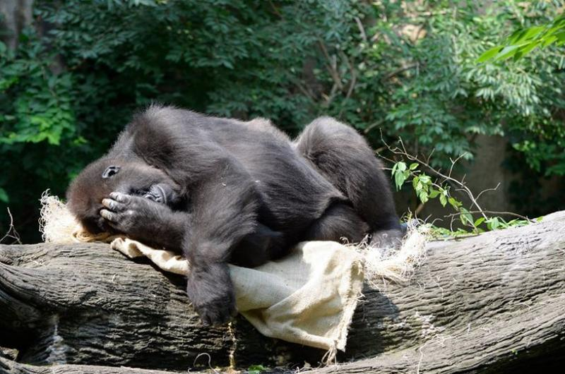 "Hang in there, Asha! Pregnant gorilla due ""any day."""