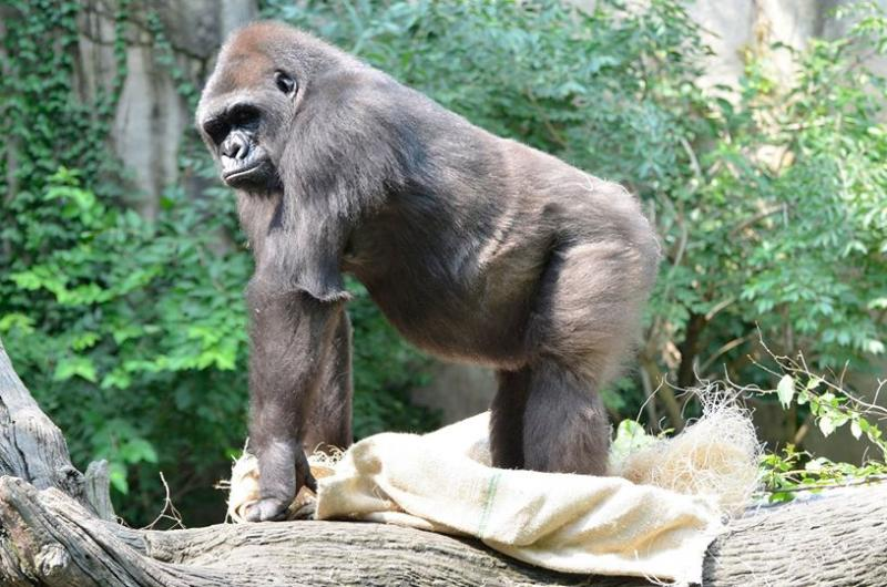 Baby watch is on at the Cincinnati Zoo for mother, Asha.