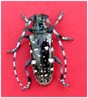 Another pest that can do serious damage to trees, the Asian longhorned beetle.