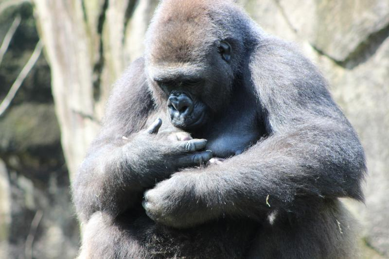 Asha has kept the baby so close, the Zoo hasn't figured out yet if Mondika is a boy or girl.
