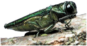 The emerald ash borer is destroying large numbers of trees across our region.