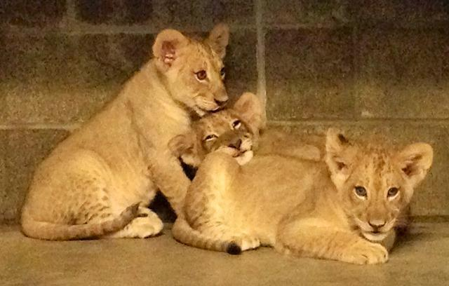 Focus Lee County >> Find out the names of the Cincinnati Zoo's new lion cubs ...