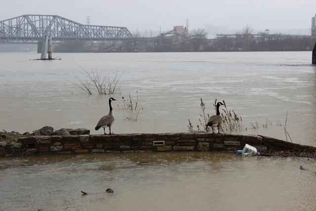 These geese don't seem to mind the rising waters.