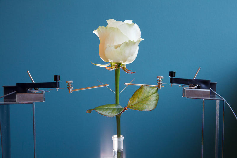 Using semi-conductive polymers, both analog and digital electronic circuits can be created inside living flowers, bushes and trees, as researchers at Linköping University Laboratory for Organic Electronics have shown.