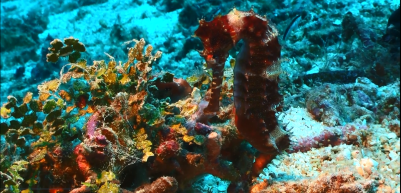 A seahorse blending into its surroundings.