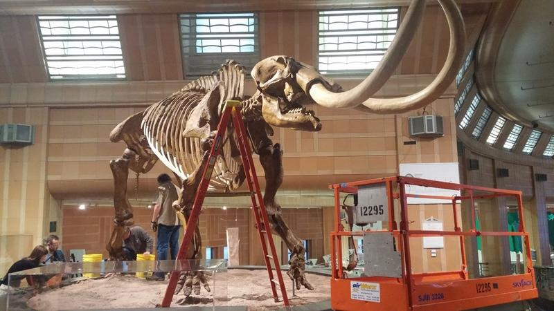The fiberglass replica of the mastodon skeleton has stood at the entrance to the Cincinnati Natural History Museum for about 25 years.