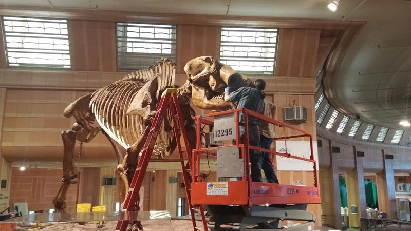Workers slid both tusks out and are preparing to remove the head.