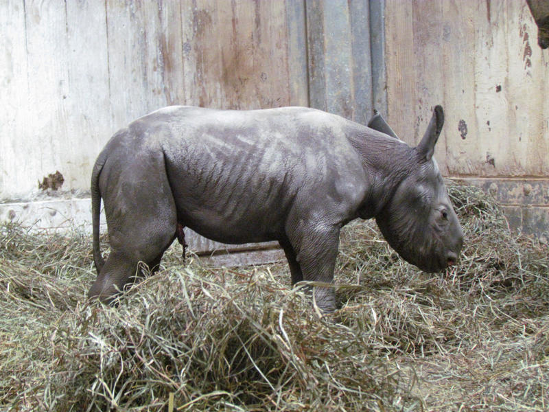 Kendi in her enclosure shortly after being born.