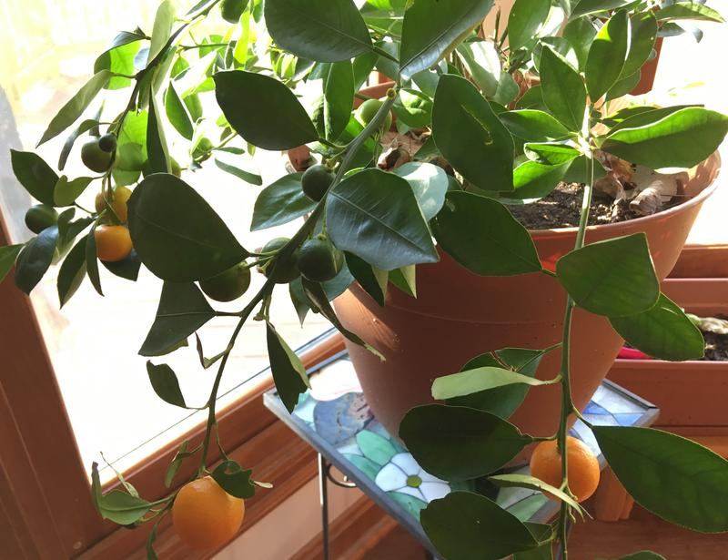 The Calamondin, a cross between a mandarin orange and a kumquat, is just one of many plants you can grow indoors during the winter months.