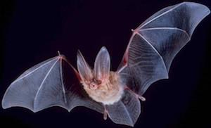 Local researchers are looking for answers in the sensory abilities of bats.