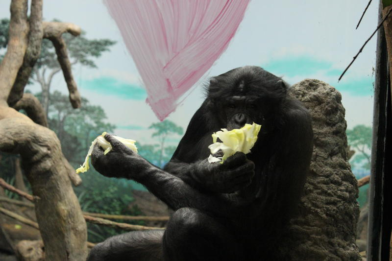 a bonobo eating fruit