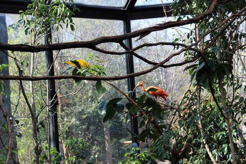 A golden conure and scarlett ibis check out the new foliage and enrichment areas in the South American aviary.
